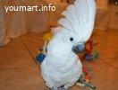 Белохохлый какаду -ручные птенцы из питомника