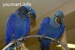 Гиацинтовый ара - ручные птенцы из питомника