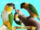 Каик или черношапочный попугай