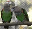 Капский попугай