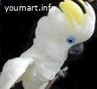 Синеочковый какаду -ручные птенцы из питомника
