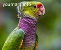 Винно красный амазон - ручные птенцы из питомника
